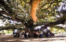 recoleta cemetery tree